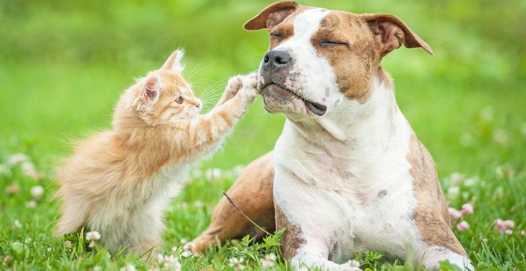 kissa yrittää raapaista koiraa kuonoon