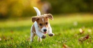 koiranpentu juoksee nurmikolla