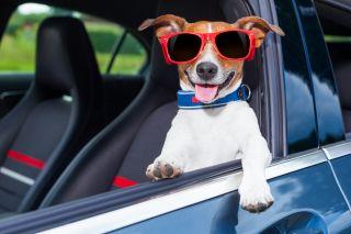 koira istuu autossa aurinkolasit päässä