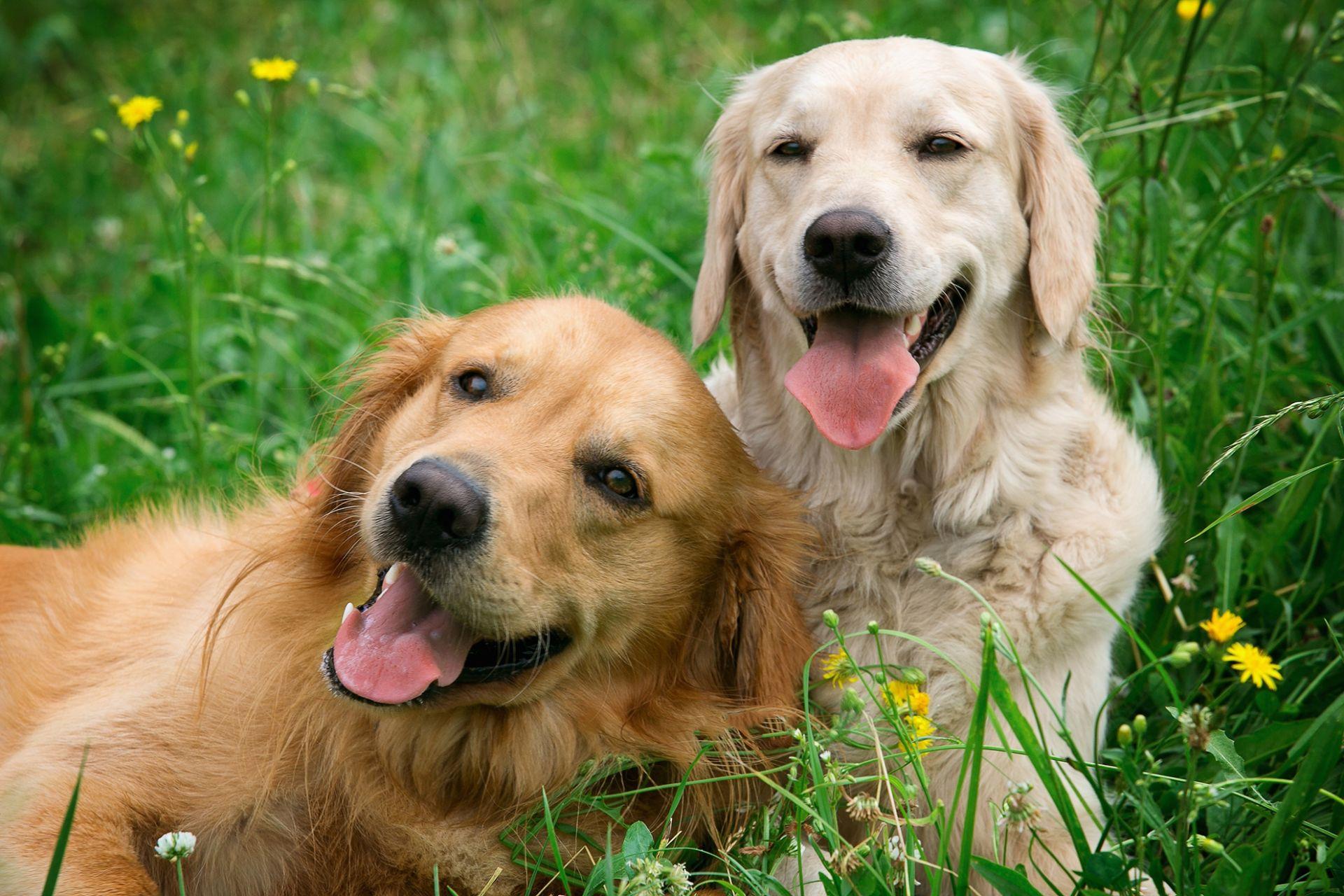 kaksi läähättävää koiraa ruohikossa