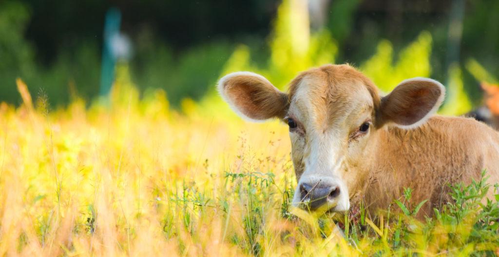 Tuotantoeläin lehmä loikoilee pellolla