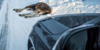 Auton keula ja alle jäänyt hirvi talvella