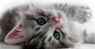 Pörröinen kissanpentu lähikuvassa