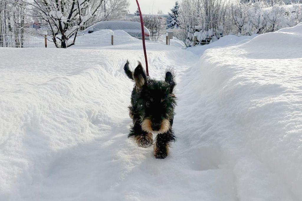 Mäyräkoiran pentu juoksee lumessa