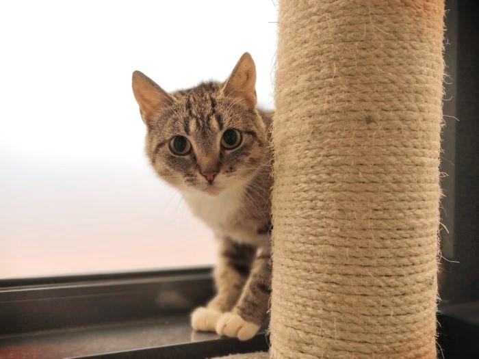 Kissa kurkistaa raapimislelun takaa