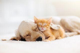 Kissan- ja koiranpentu nukkuvat yhdessä